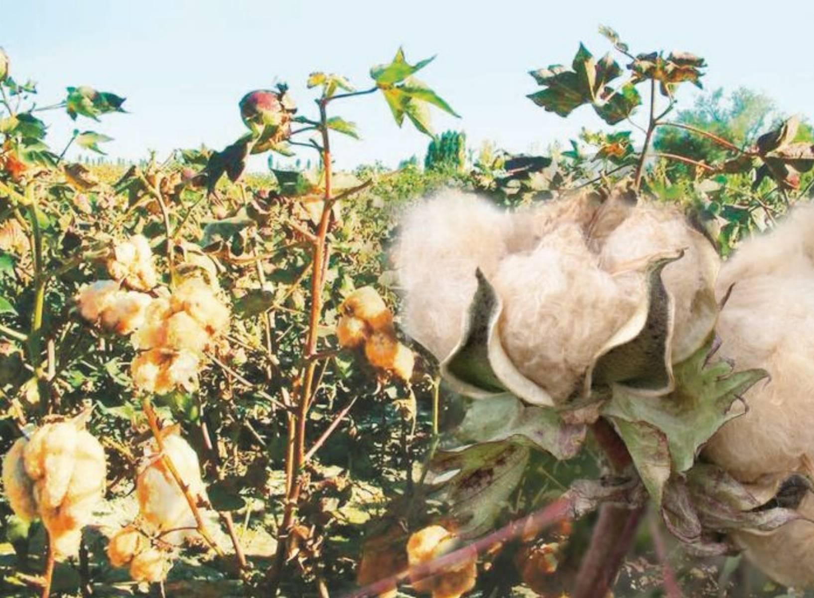 Czy na pewno bawełna którą nosisz jest naturalna?
