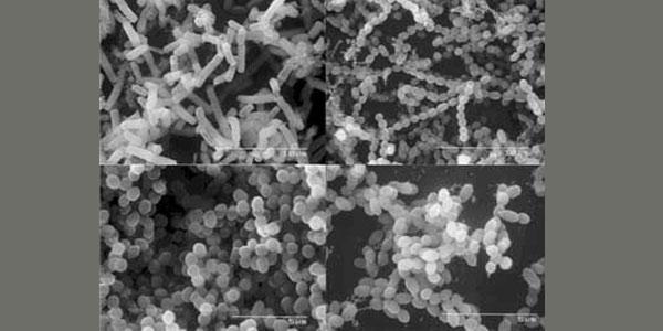 molekularna struktura probiotyku