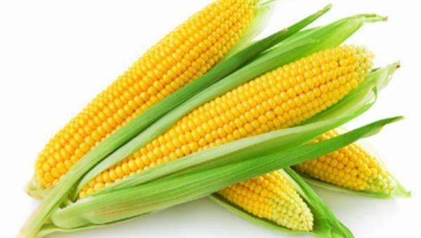 Czego nie wiemy o badaniu Seraliniego nad kukurydzą GMO?