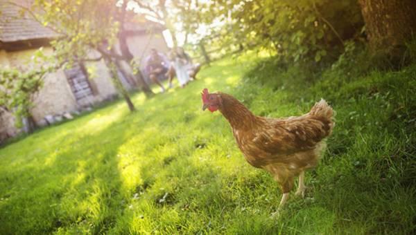 Czy mięso z kurczaka jest zdrowe? Fakty i mity!