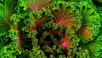 Jarmuż – zdrowe warzywo o wciąż niedocenianych właściwościach