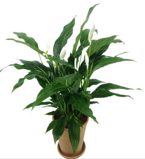 rośliny które produkują tlen w nocy skrzydłokwiat
