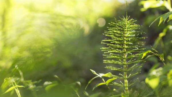 Skrzyp polny – niepozorna roślina, wyjątkowe właściwości