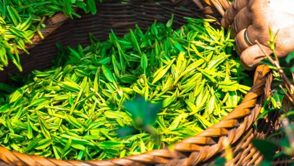 Jaki wpływ ma zielona herbata na urodę?