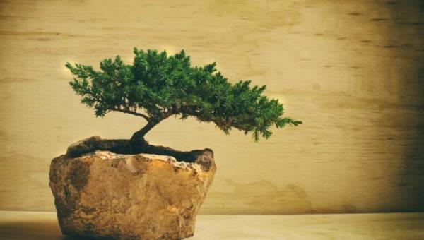 Bonsai – sztuka cierpliwości