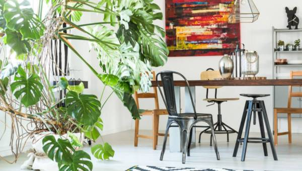 Monstera i fikus benjamina – modne kwiaty do domu