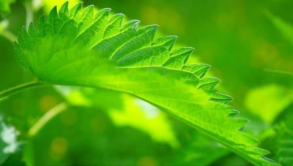 Poczuj moc majowej pokrzywy! Przedstawiamy zastosowanie pokrzywy w kuchni, apteczce, łazience i ogrodzie