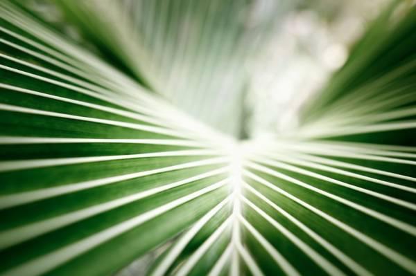 Palma koralowa