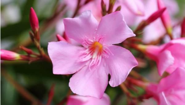 Oleandry – idealne na balkony i tarasy. Co warto wiedzieć o tych roślinach?
