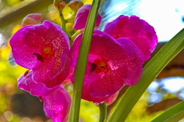 Storczyk z gatunku Dendrobium