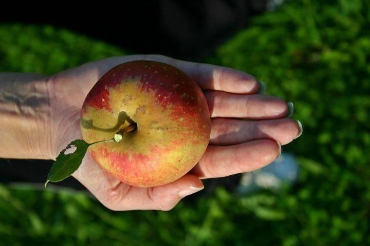 jabłko na dłoni