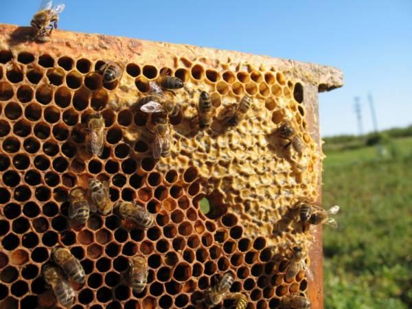 pszczoły i plaster miodu