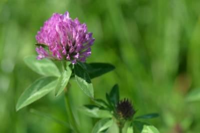 dzikie rośliny jadalne - koniczyna
