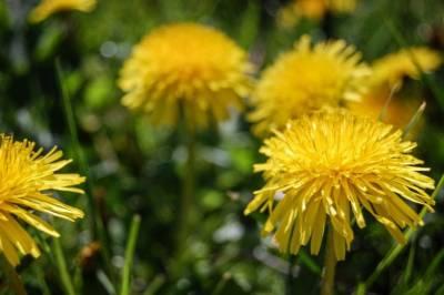 mniszek lekarski kwiaty