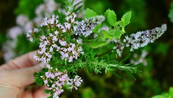 Dzikie rośliny jadalne, czyli chwasty na talerzu