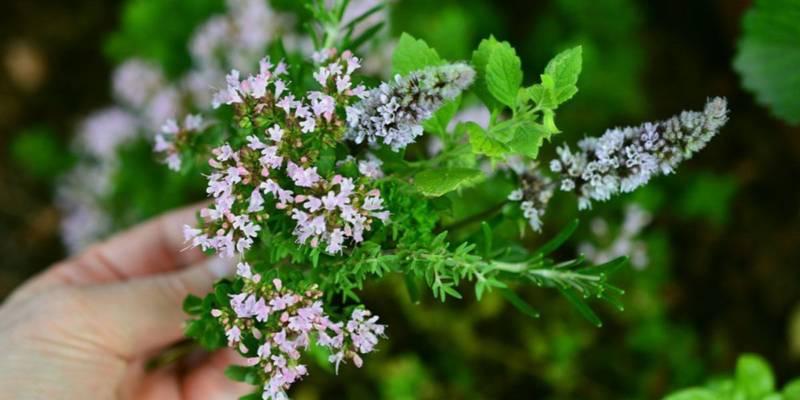 dzikie rosliny jadalne - zbiór roślin