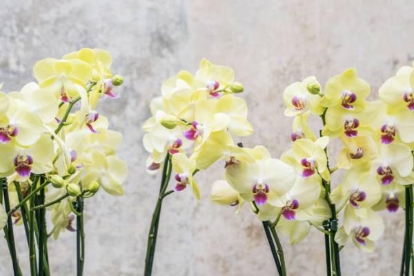 Jak dbać o storczyki żółte storczyki
