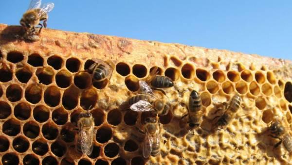 Pszczoły i wytwarzana pierzga – rozwiązaniem na nowotwory?