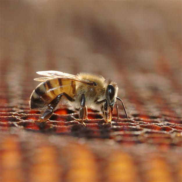 pszczoła i plaster miodu