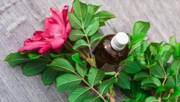 Olejek różany – skarb od królowej kwiatów