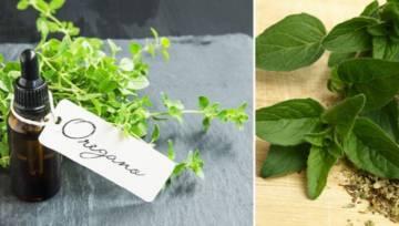 Olejek z oregano – zastosowanie na wirusy, bakterie i grzyby