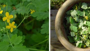 Jaskółcze ziele: 5 zaskakujących właściwości i zastosowań