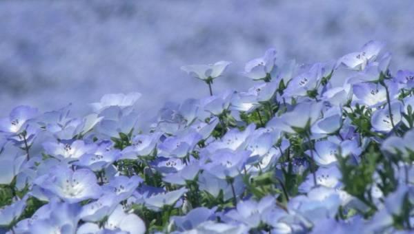 Hitachi Seaside Park i inne niezwykłe parki kwiatowe