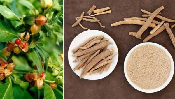Ashwagandha: indyjskie zioło do zadań specjalnych