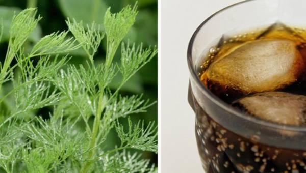 Roślina o zapachu coli. Możesz posadzić ją w ogrodzie i dodać do sałatki!