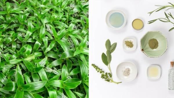 Złoty wąs – roślina o niezwykłych leczniczych właściwościach, którą możesz hodować w domu