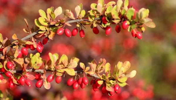 Lecznicze właściwości berberysu. Oto zapomniany jesienny skarb natury!
