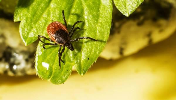 Najgroźniejsze choroby odkleszczowe