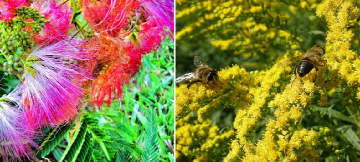 W Polsce nie ma mimozy. Jesień kwitnie… nawłocią!