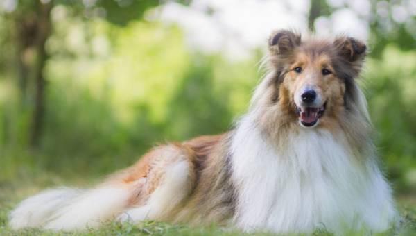Psy długowłose – jak pielęgnować sierść i z jakich przyrządów korzystać?