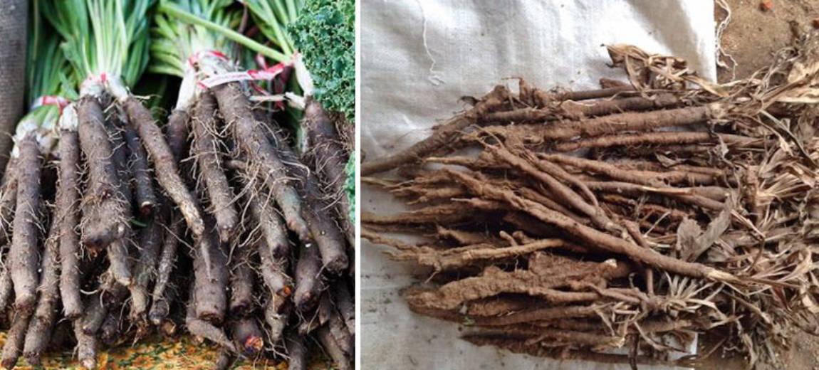 Skorzonera – czarny korzeń o niezliczonych właściwościach: od urodowych po zdrowotne
