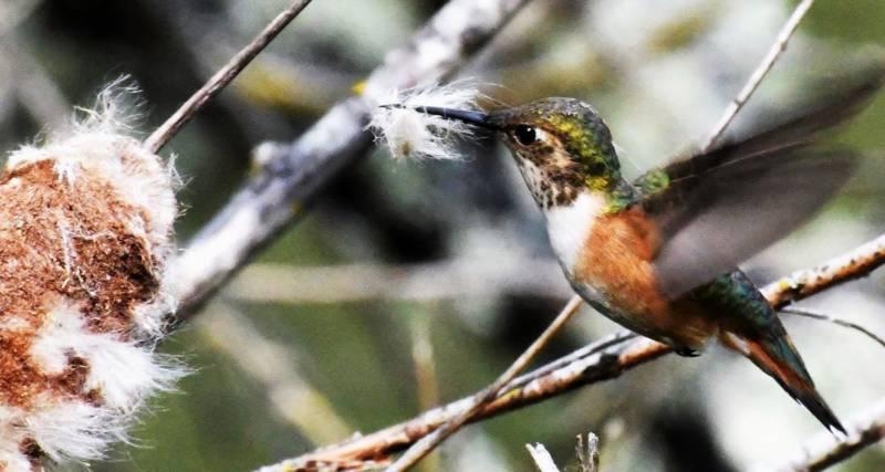 pixabay.com/photos/hummingbird-nesting-material-collect-3560584/