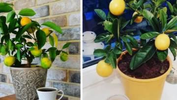 Cytrynowe drzewko w twoim domu. Co zrobić, aby w salonie wyrosły cytryny?