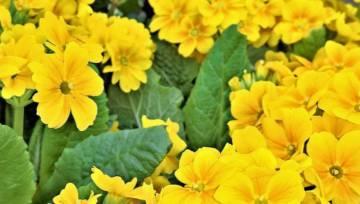 Wiosną zbieraj i ususz pierwiosnek! Przedstawiamy 6 zastosowań tego symbolu ciepłych dni