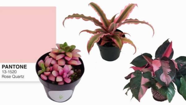 Rośliny w kolorze Millennial Pink – naturalna i sprzyjająca zdrowiu dekoracja do Twojego wnętrza