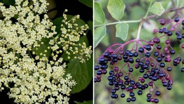 Czarny bez – zdrowie zaklęte w kwiatach. 5 przepisów z zastosowaniem tego naturalnego lekarstwa, na które właśnie rozpoczął się sezon