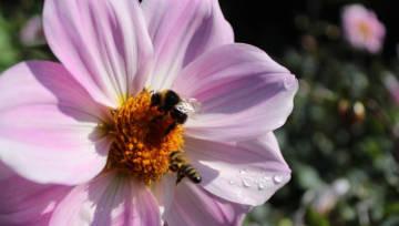 Jak zrobić domek dla pszczół, który wspomoże ginące gatunki dzikiej pszczoły? Instrukcja krok po kroku