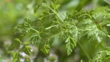 Trybula ogrodowa – naturalny tonik i  niezbędna przyprawa do dań kuchni francuskiej