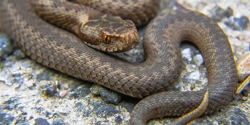 wężownik