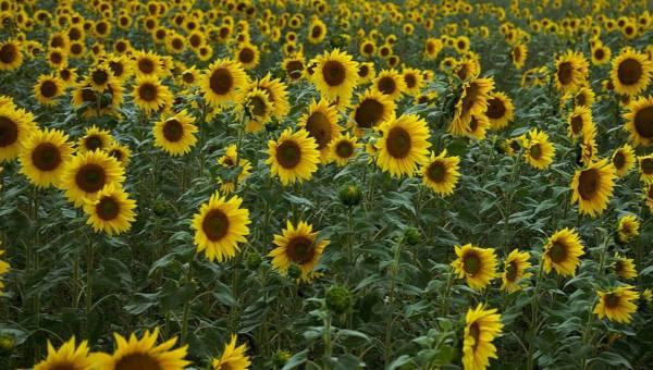 Potrawy ze słonecznikiem – posypuj dania tym zdrowym symbolem lata! 4 pyszne przepisy
