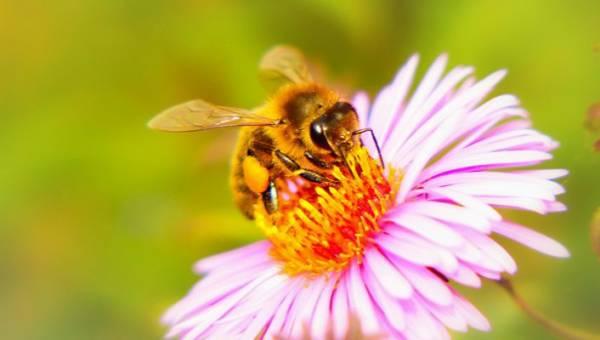 Pyłek kwiatowy – złocisty skarb pszczół dla zdrowia i urody