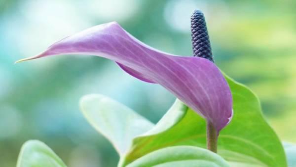 Skrzydłokwiat – roślina, dla której musisz znaleźć miejsce w swoim mieszkaniu lub miejscu pracy