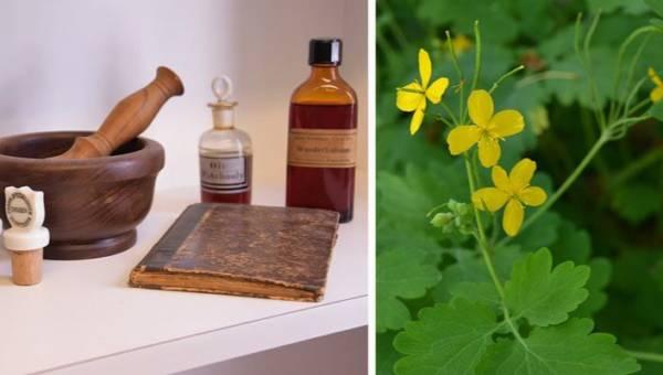 Kwas Bołotowa z zielem glistnika – domowy lek oczyszczający organizm i przyspieszający odnowę komórek