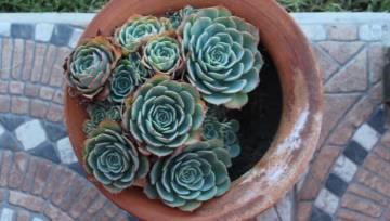 Sukulenty jak róże – zachwycające i łatwe w utrzymaniu kwiaty, idealne dla minimalistek!