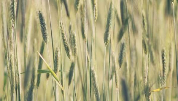 """Trawa jęczmienna – źródło wielu składników odżywczych, dzięki którym powiesz """"nie"""" chorobom cywilizacyjnym"""
