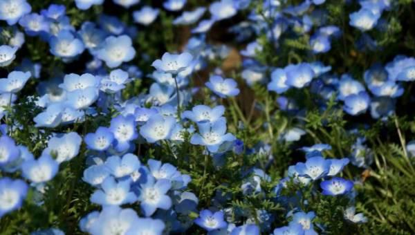 Tęsknisz do natury? Zobacz magiczne pola błękitnych porcelanek, które właśnie rozkwitły w japońskim Hitachi Seaside Park!
